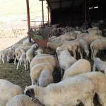 Schafe an der Grenze zwischen Türkei und Bulgarien